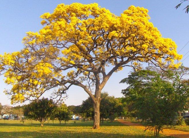 A árvore símbolo do Brasil é o Ipê Amarelo