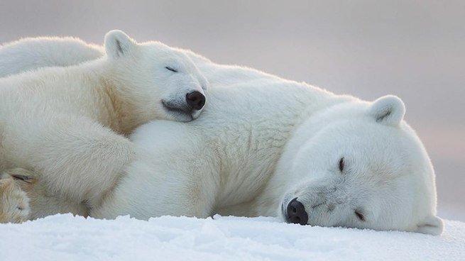 Urso polar dormindo com filhote